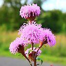 Hairy Purple Flower2 by Adam Kuehl