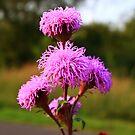 Hairy Purple Flower3 by Adam Kuehl