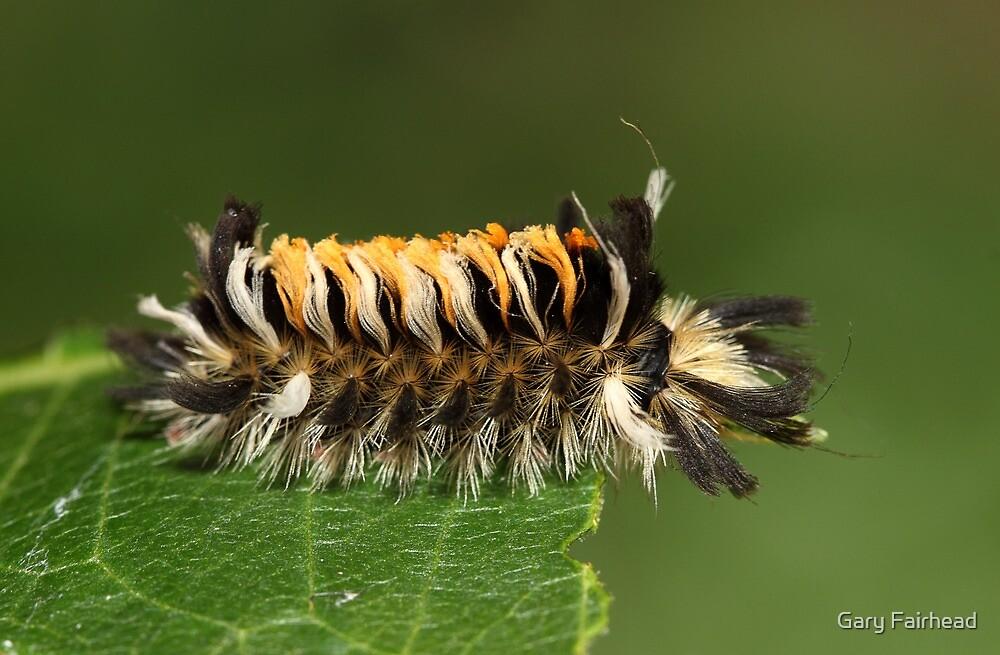 Milkweed Tusock Caterpillar by Gary Fairhead