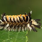 Milkweed Tusock Caterpillar by Gary Fairhead