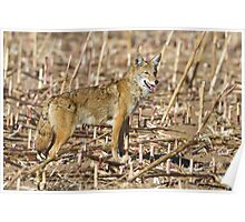 Coyote in cornfield Poster