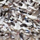 Snow Geese blast off by Bryan  Keil