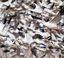 Snow Geese blast off by Bryan  Keil