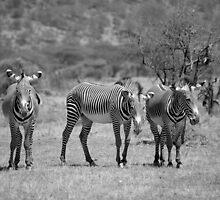 Grevy's Zebras at Samburu, Kenya by roger smith