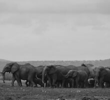 Elephants (Loxodonta) by DebbyTownsend