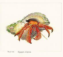Hermit Crab by melhillswildart