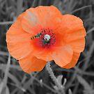 Poppy in the Field by Stephen Horton
