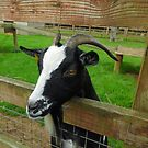 Goat by Asrais