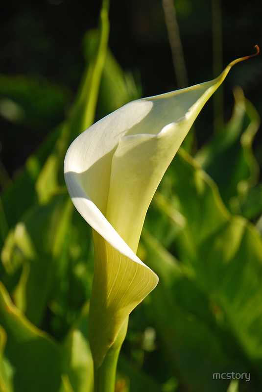 Calla Lilly by mcstory