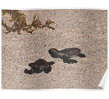 Baby Hawksbill Turtles Poster