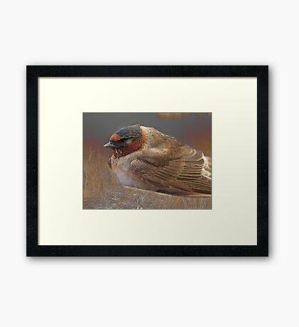 Sleeping Swallow Framed Print