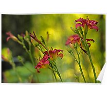 Daylilies in the Garden Poster