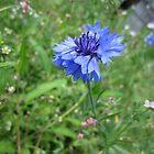 Pretty blue flower by Cristel Gous-Veefkind
