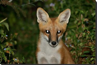 Red Fox by patti4glory
