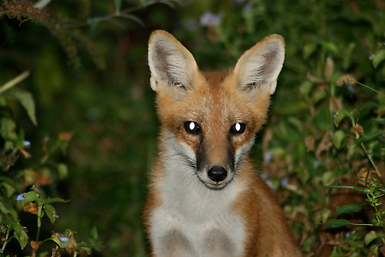 Red Fox by patti4glory