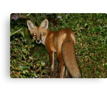 Red Fox with Tail Canvas Print