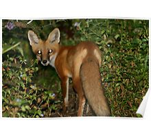 Red Fox with Tail Poster