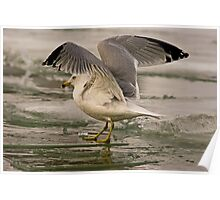 Ring-billed Gull on Icy Lake Ontario Poster
