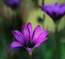 -Purple Symphony (African Daisy) by T.J. Martin
