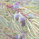 geebung seeds by GrowingWild