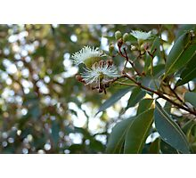 coastal mallee in flower Photographic Print