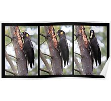 Yellow tailed Black Cockatoo X 3 Poster