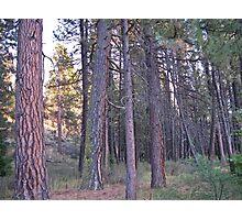ponderosa forest Photographic Print