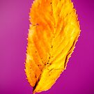 Yellow Leaf on Purple  by heidiannemorris