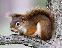Red Squirrel by Dennis Cheeseman