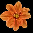 Orange Dahlia. by Lee d'Entremont