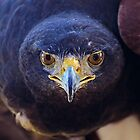 Look Into My Eyes......Harris Hawk Portrait by Kathy Baccari