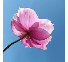 Japanese Windflower Anemone Photographic Print