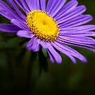 Purple Aster by onyonet photo studios