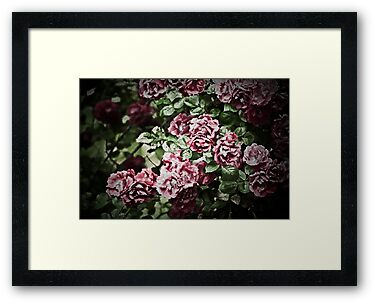 Antique Pink Roses by onyonet photo studios