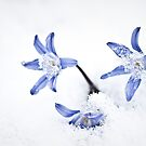 Chionodoxa - Glory of the Snow by onyonet photo studios