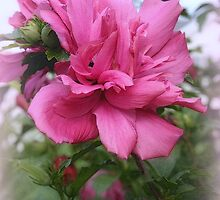 A Tree Rose Of Sharon by kkphoto1