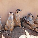 Meerkats at the zoo by Sweetpea06