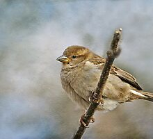 House Sparrow (female) by KatMagic Photography