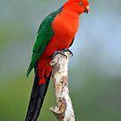 Male King Parrot. Cedar Creek, Queensland, Australia. (2) by Ralph de Zilva