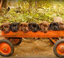 Designer Labrador Puppies! First published in 2012 by DennisThornton
