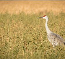Sandhill Crane  2015-4 by Thomas Young