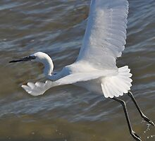 White Morph Reddish Egret by Savannah Gibbs