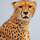 Cheetah close up. by Roger  Mackertich