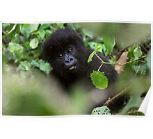 Mountain Gorilla. Poster