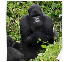 Silverback on alert. Poster