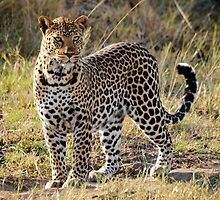 The African Leopard by Roger  Mackertich