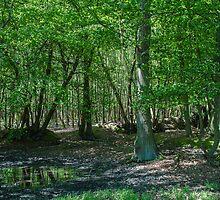 Irish Wood by Pauline Tims