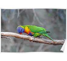 Rainbow Lorikeet Just Being Silly. Cedar Creek, Qld,  Australia. Poster