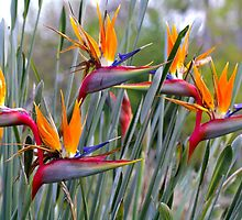 A Flock of Birds of Paradise. by Bette Devine