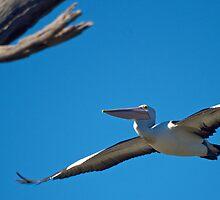 Pelican in flight 2 by D-GaP